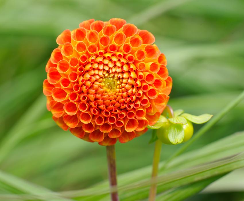 Tangerine dahlia