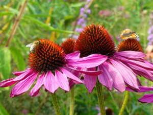 Omslagfoto Echinacea 1_850