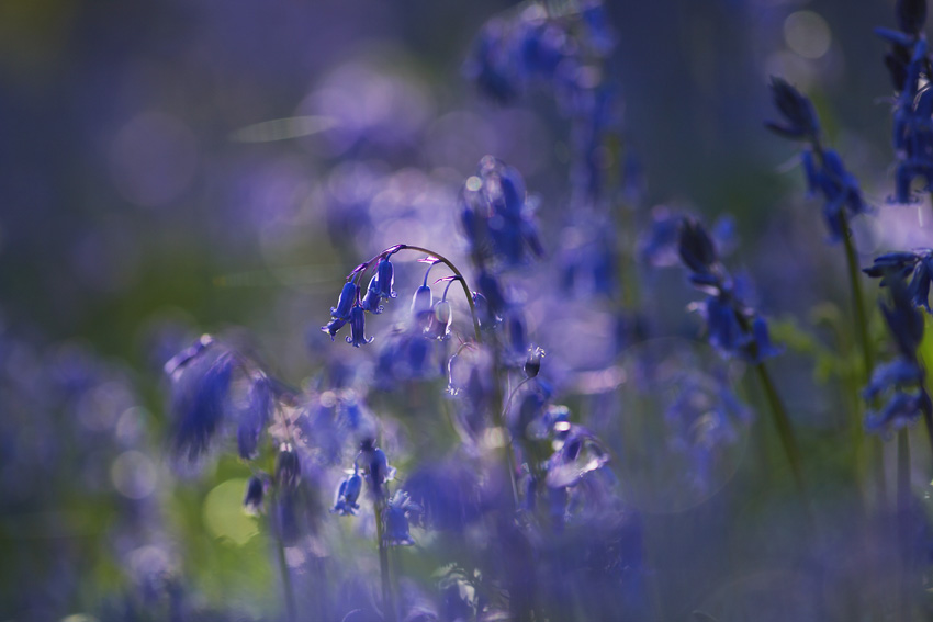 blue_bells